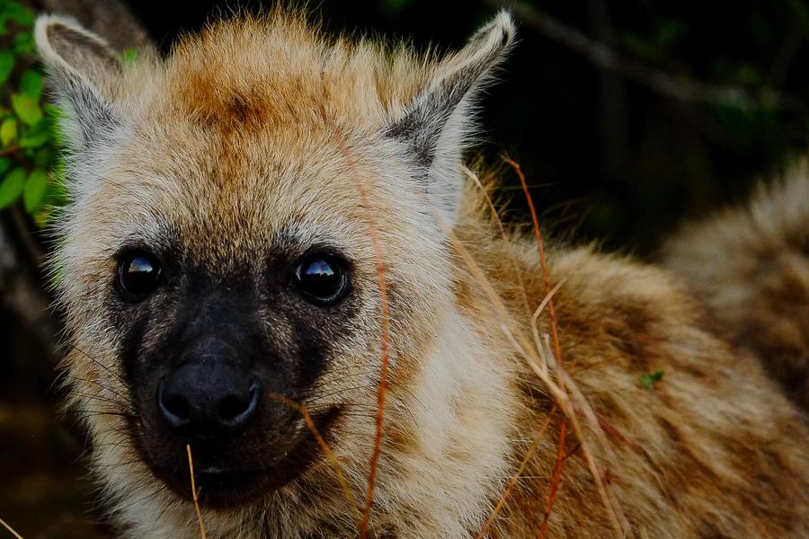 Petite hyène au parc Kruger, Afrique du Sud.