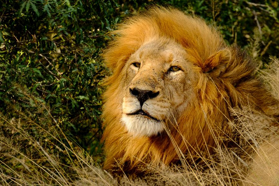 Lion au parc Kruger, Afrique du Sud.