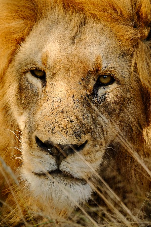 Portrait de lion au parc Kruger, Afrique du Sud.
