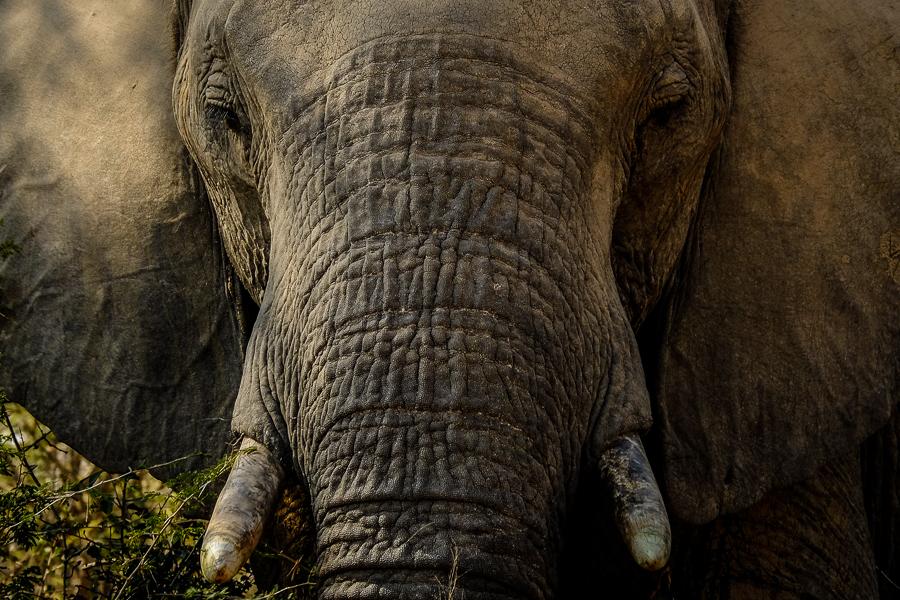 Un portrait d'éléphant au parc Kruger, Afrique du Sud.