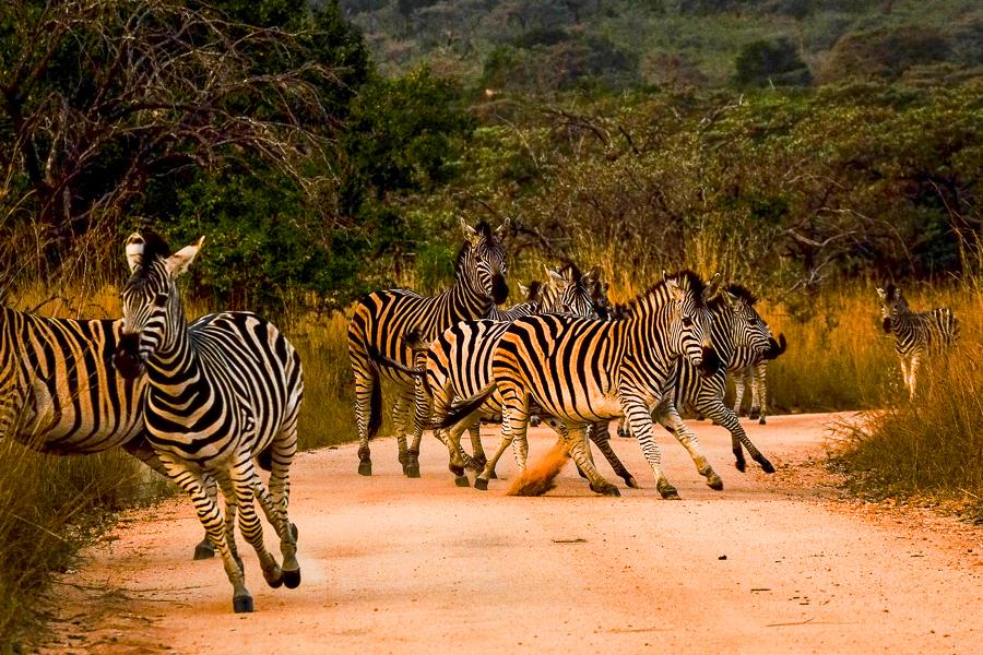 Des zèbres sur la piste au parc Kruger, Afrique du Sud.