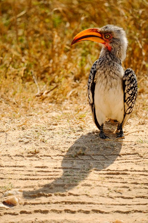 Calao prenant la pose au parc Kruger, Afrique du Sud.