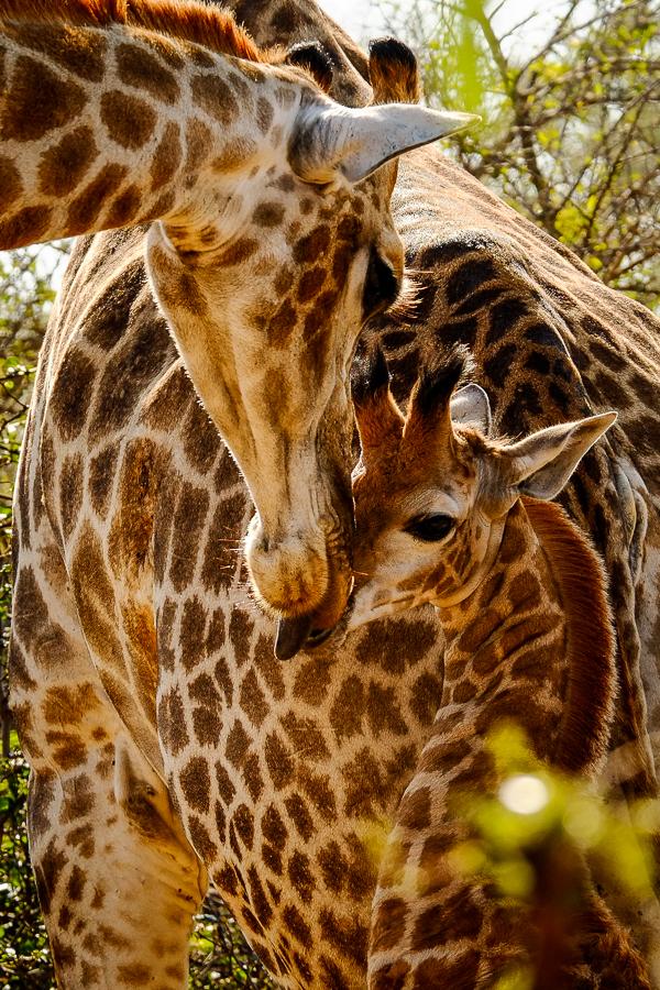 Girafon au parc Kruger, Afrique du Sud.