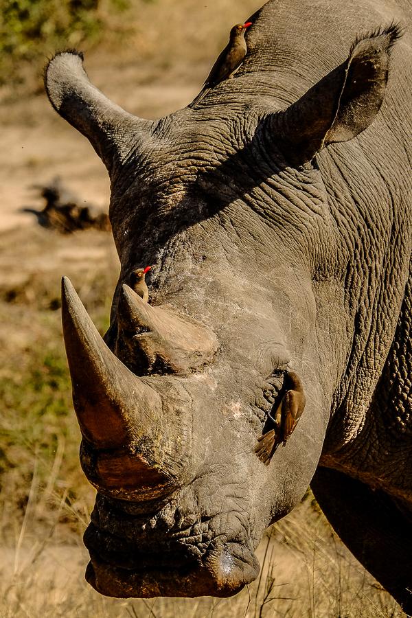 Rhinocéros et oiseaux au parc Kruger, Afrique du Sud.