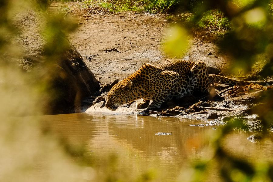 Léopard au point d'eau au parc Kruger, Afrique du Sud.