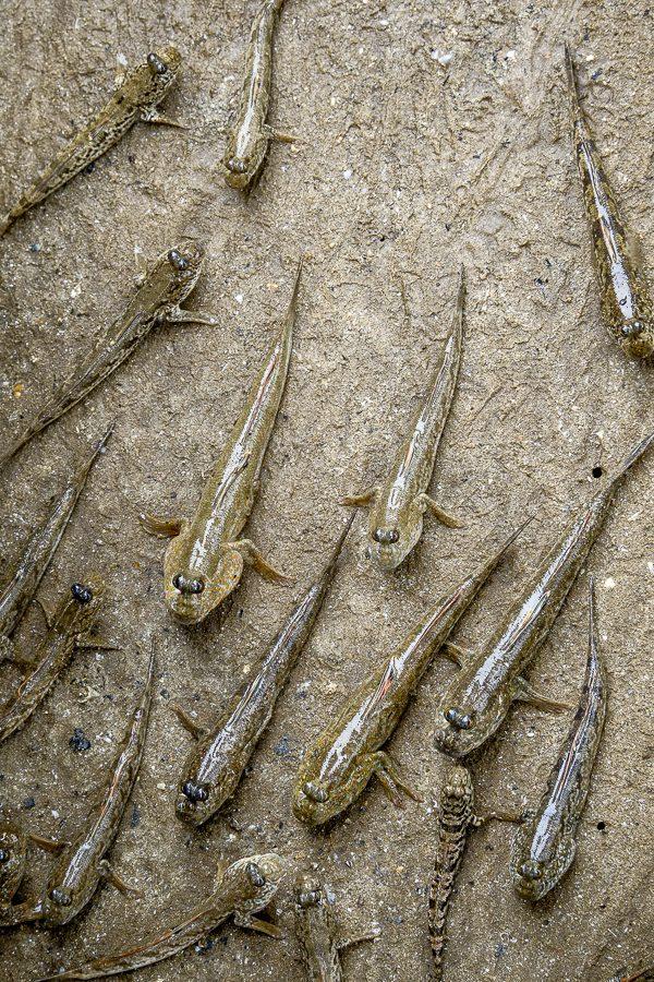 Les drôles de poissons mudskipper, à Bako, Bornéo, Malaisie.