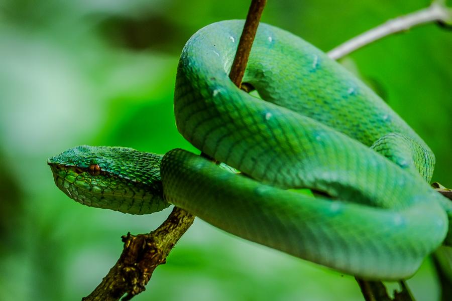 Serpent à Bako, Bornéo, Malaisie.