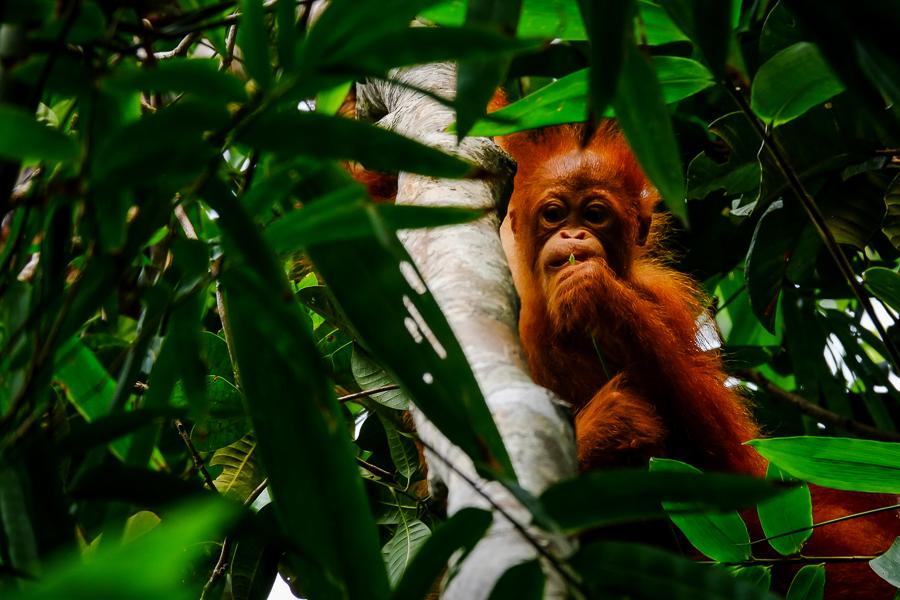 Bébé orang-outan à Bornéo, Malaisie.