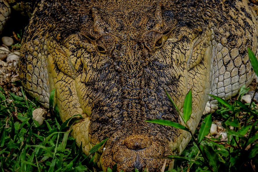 Crocodile à Bornéo, Malaisie.