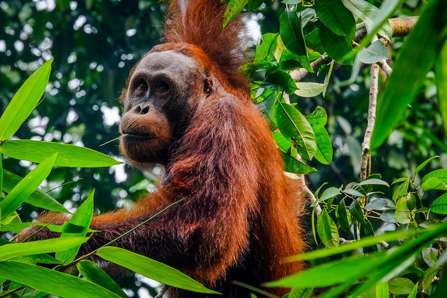 Orang-Outan à Bornéo, Malaisie.