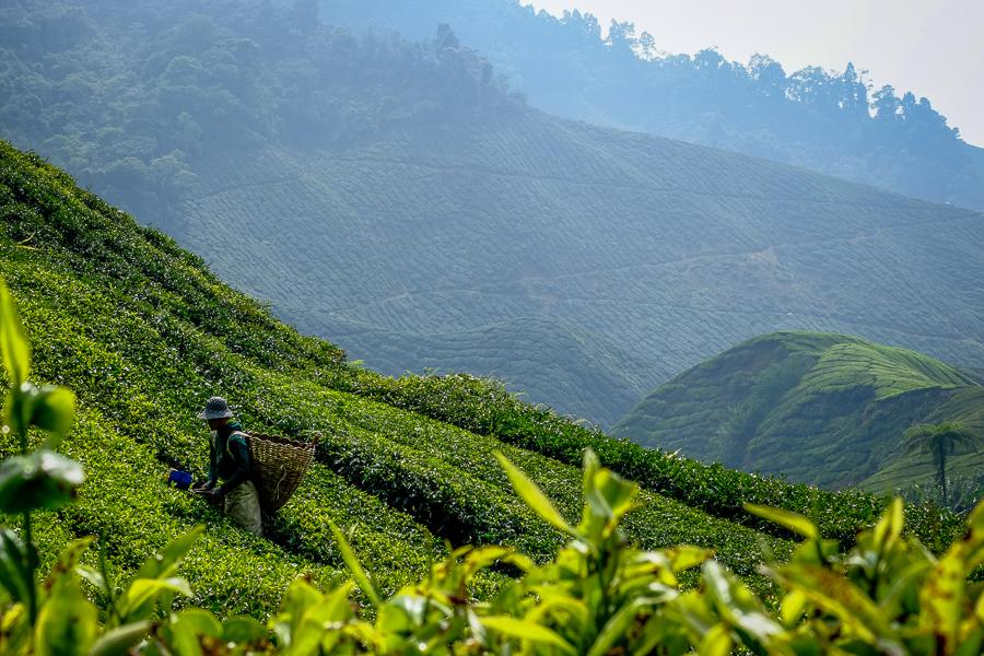 Les plantations de thé des Cameron Highlands, en Malaisie.