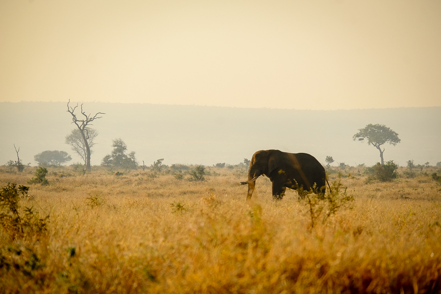 Éléphant dans le paysage du parc Kruger en Afrique du Sud.