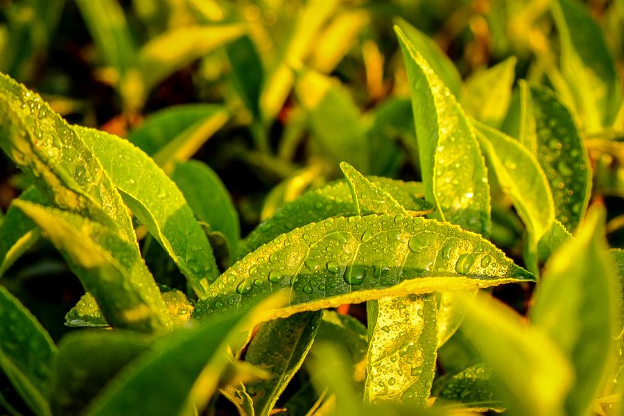 Feuilles de thé de Lipton's Seat au Sri Lanka.
