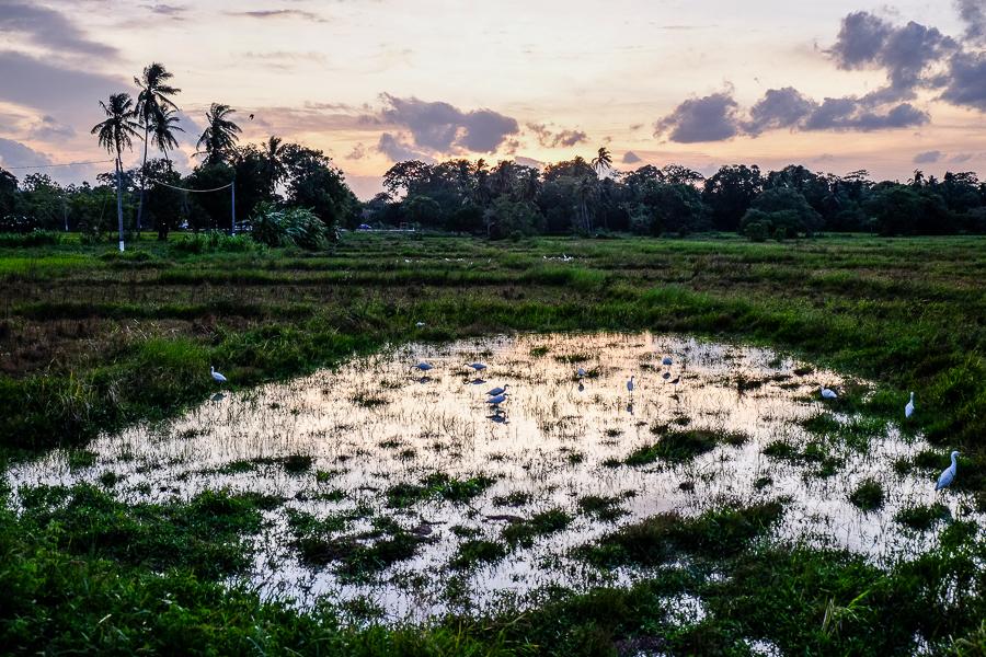 Marécage près d'Anuradhapura, Sri Lanka.
