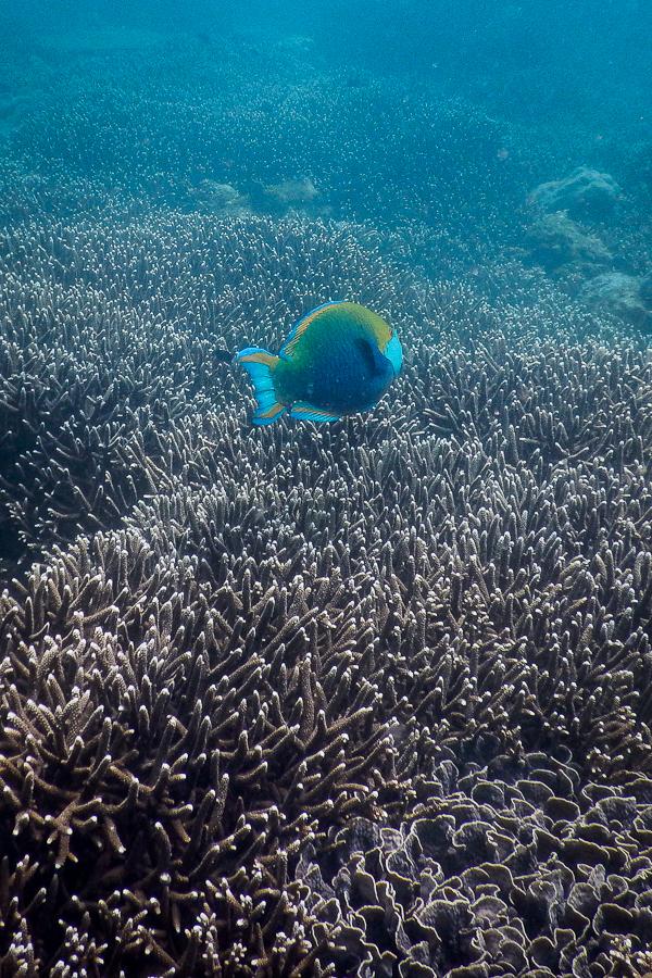 Poisson coloré sur un tapis de corail au Sri Lanka.