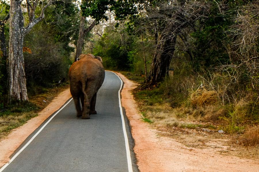 Éléphant sauvage près de Sigiriya, au Sri Lanka.