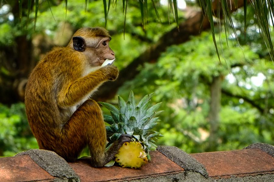 Singe mangeant un ananas au Sri Lanka.