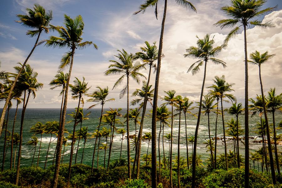 Cocotiers près de Trincomalee au Sri Lanka.