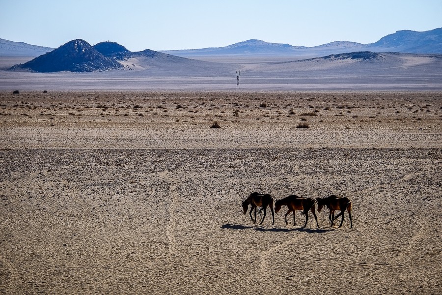 Les chevaux sauvages de Namibie, près d'Aus dans le Karas.