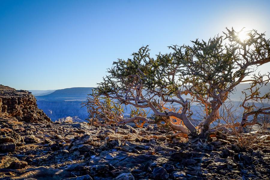 Plantes du désert dans le Fish River Canyon en Namibie.