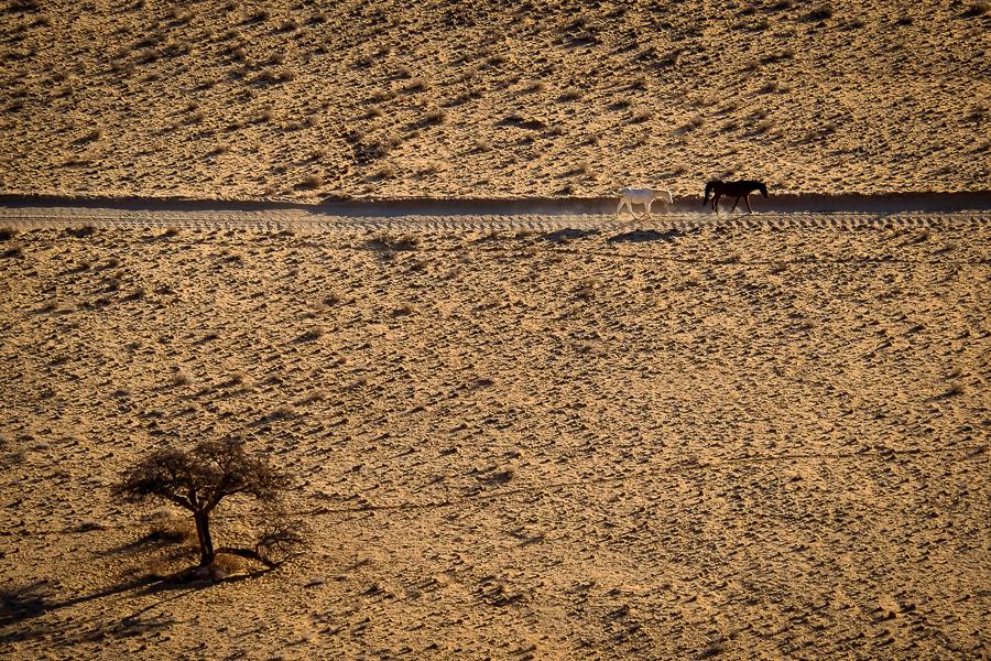 Les chevaux sauvages du Karas en Namibie.